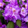 Rhododendron, yukka, kertészet